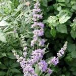 Циклодинон - Лекарственные препараты, травы, БАДы