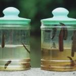 Гирудотерапия при бесплодии - лечение бесплодия пиявками