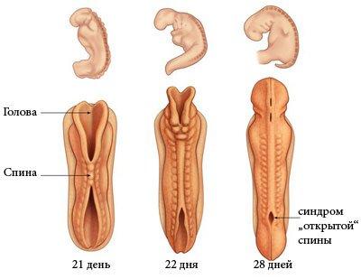 Нервная трубка эмбриона