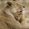 Львица -мать