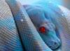 Iguana Blu
