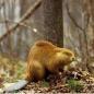 Beaver_yellow